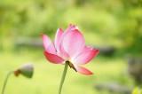 蓮 花14