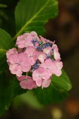 アジサイの花・ピンク2