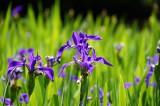 カキツバタの花・複数・紫4