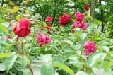 バラ 花畑・紅1