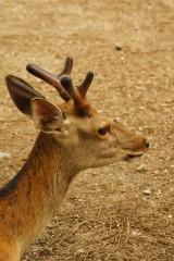 奈良の鹿・側面16