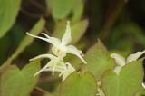 白花イカリソウ