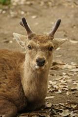 奈良の鹿・正面8