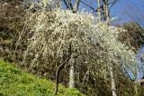 吉野・しだれ桜