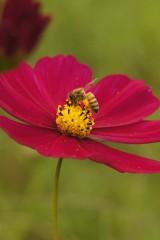 赤いコスモスとハチ