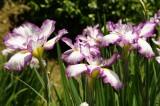 ショウブ 花・紫と白5