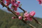 明日香村・桜