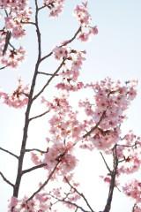 大阪・富田林市の桜