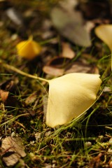 落ちたイチョウ 葉