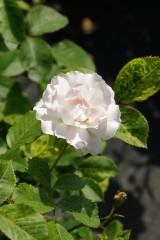 バラの花(万博公園)・白4