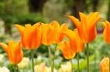チューリップの花 オレンジ1