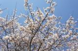 明日香村・石舞台 桜33