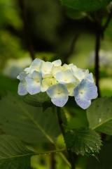 アジサイの花・青・薄紫14