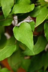テッセンの葉
