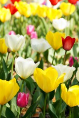 チューリップの花畑アップ1