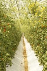 トマト畑(ビニールハウス)