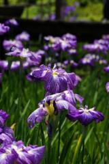 ショウブ 花・紫14