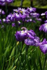 ショウブ 花・紫12