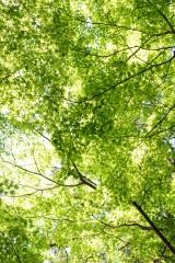 もみじの葉2・緑