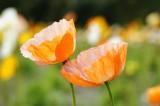 風になびく2輪のポピーの花