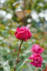バラ つぼみ・紅
