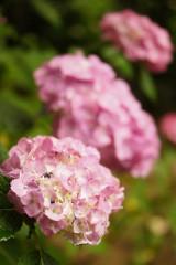 アジサイの花・ピンク11