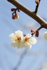 梅の花17