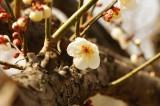 梅の花22