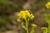 菜の花とハチ1