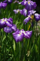 ショウブ 花・紫11