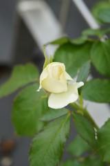 バラ つぼみ・薄い黄色