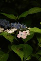 アジサイの花・紫4