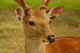 奈良の鹿・ナナメ5