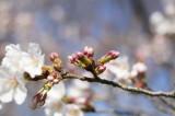 明日香村・石舞台の桜19