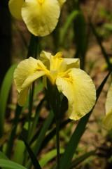 ショウブ 花・黄色2