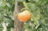 熟れかけのトマト 実(オレンジ)