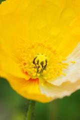 ポピー 花アップ 黄色と白