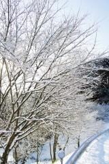 積雪した樹木2
