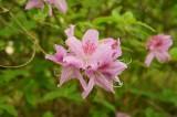 ピンクのつつじの花