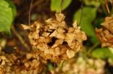 枯れたアジサイの花1