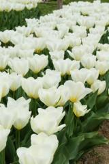 チューリップ(白)の花畑3