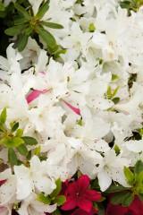つつじの花 白とピンク1
