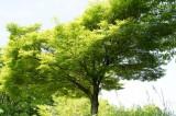 もみじの木・緑
