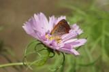 チョウが乗っているコスモスの花