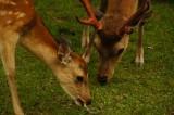 奈良の鹿・複数・正面と側面