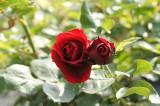 バラ 花(万博公園)・紅7