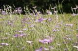 アグロステンマ(麦仙翁)の花畑3
