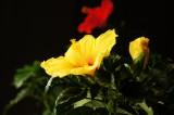 ハイビスカス 花・黄色1