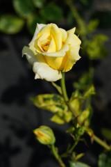 バラ 花(万博公園)・黄色2