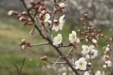 梅の花・枝2